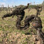 Vieille vigne, 120 ans, henri-bruno de coincy, chateau belle brise, pommerol